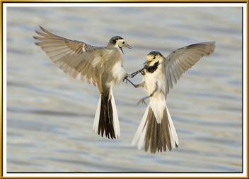 Lavanderas peleando 02 - cueretes blanques barallant-se - white wagtail fighting - Motacilla alba - image #279121 gratis