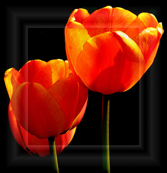 The Tulips - Free image #279431