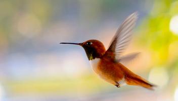 Hummingbird - Free image #279691