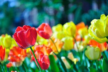 Tulips/The Language of Flowers (15/52) - Free image #279701