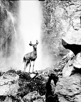 Deer at waterfall, 1939 - Free image #279731