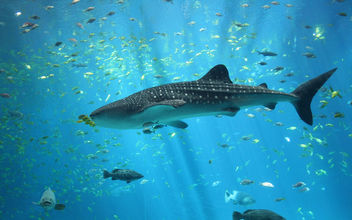 Male whale shark - Georgia Aquarium - image #279981 gratis