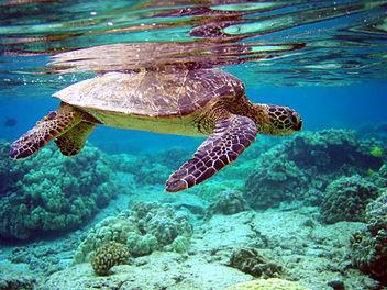 Green Turtle - Chelonia mydas - image #280011 gratis