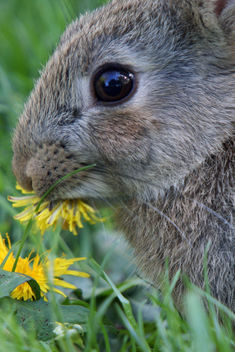 Young Wild Rabbit eating dandelion flower, Leighton Moss RSPB May 2009 - Free image #280021