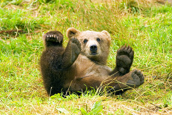 Brown Bear having fun, rolling in the grass on his back with paws up - бесплатный image #280141