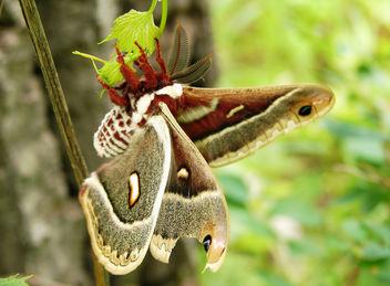 Columbia Silk Moth - Free image #280251