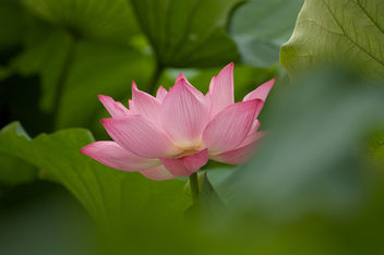 Lotus in Tokyo 1 - Kostenloses image #280291