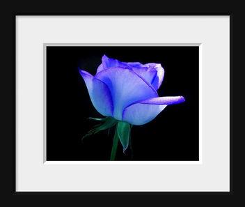 Blue Rose - image gratuit #280621
