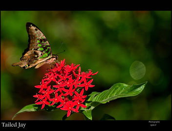 Tailed Jay - image gratuit #280911
