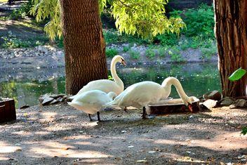 White Swans - image #280951 gratis