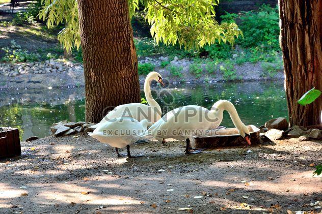 Cisnes brancos - Free image #280951