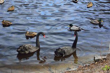 Black swans - image #280961 gratis
