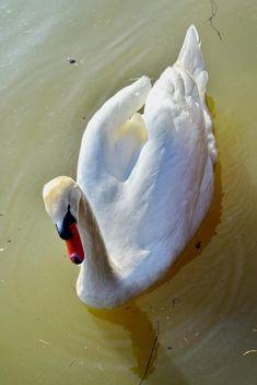 White swan - Kostenloses image #280971
