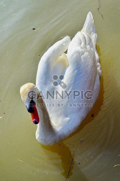 Cygne blanc - image gratuit #280971