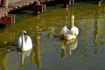 White swan - image #280981 gratis