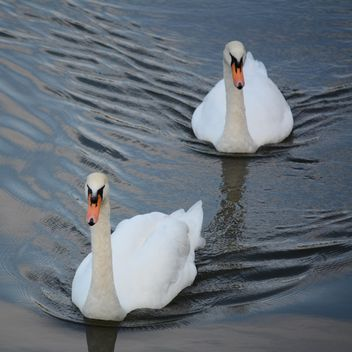 White swans - image #280991 gratis