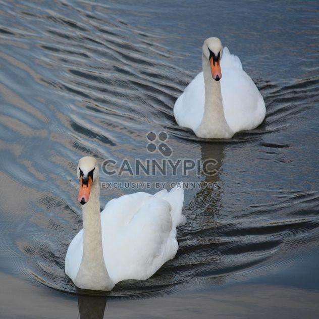 Белые лебеди - бесплатный image #280991