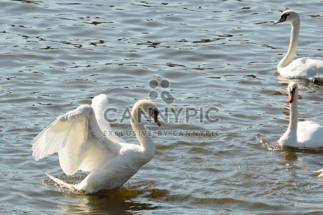 Cygnes sur le lac - image gratuit(e) #281001