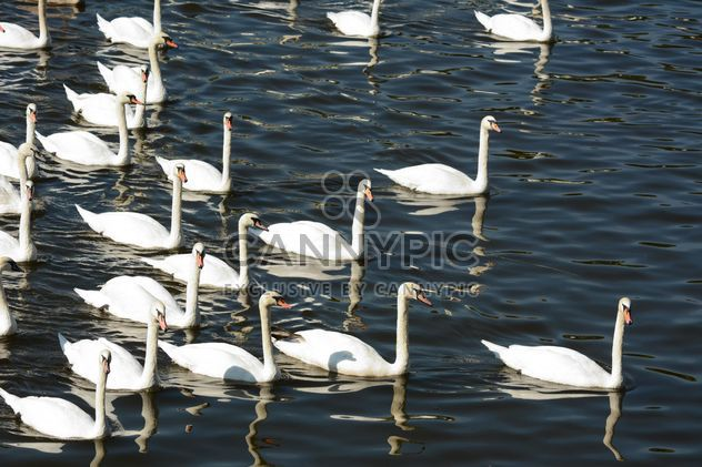 Schwäne auf dem See - Free image #281011