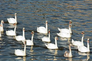 Swans on the lake - image #281021 gratis