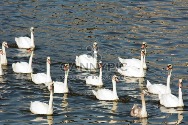 Swans on the lake - Free image #281021