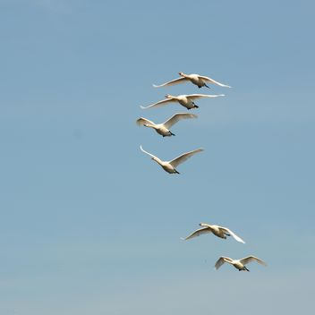 Swans flying high - image #281031 gratis