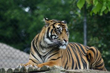 Tiger - Free image #281091