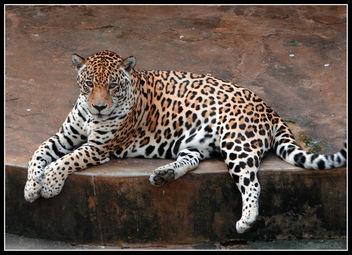 Jaguar - Free image #281101
