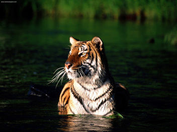 Taking a Dip Bengal Tiger - бесплатный image #281171