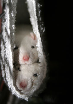 Rat Babies - Kostenloses image #281251