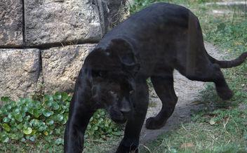Black panther - бесплатный image #281261