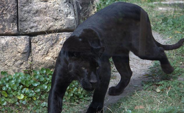 Black panther - Free image #281261