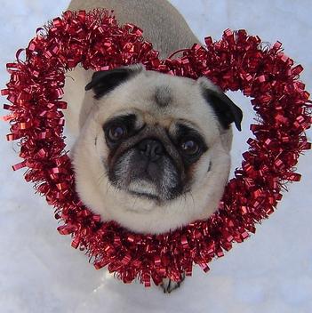 Valentine Pug - Kostenloses image #281421