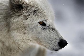 Arctic Wolf Portrait - Kostenloses image #281531