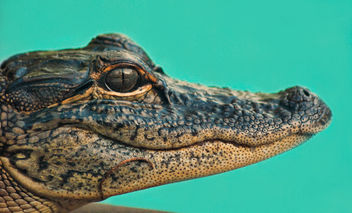 Gator Friend - Free image #281551