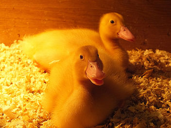 Ducklings - Free image #281931