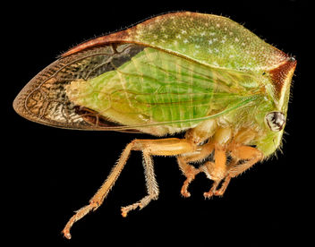 Buffalo Treehopper, side, MD, PG County_2013-08-20-17.33.42 ZS PMax - Free image #281971