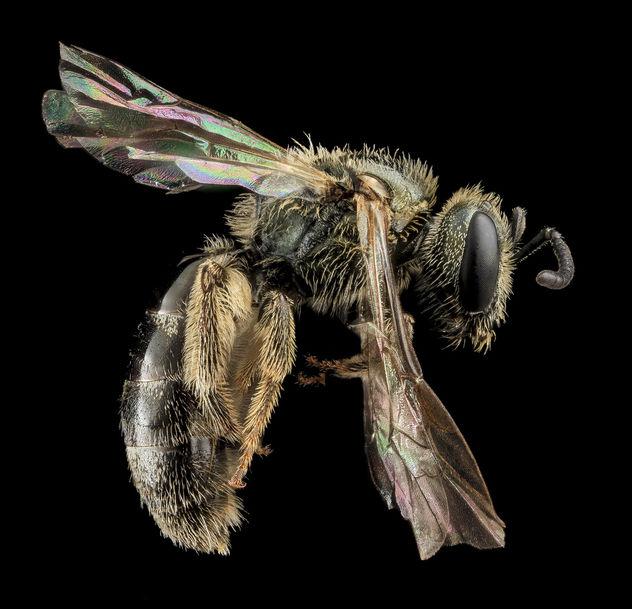 Lasioglossum gotham, F, Side, MD, Cecil County_2013-07-10-17.01.30 ZS PMax - Free image #282051
