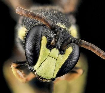 Hylaeus ornatus, M, face_2013-07-07-16.51.01 ZS PMax - Free image #282201