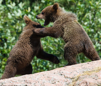 baby bears playing in the sun - image #283011 gratis