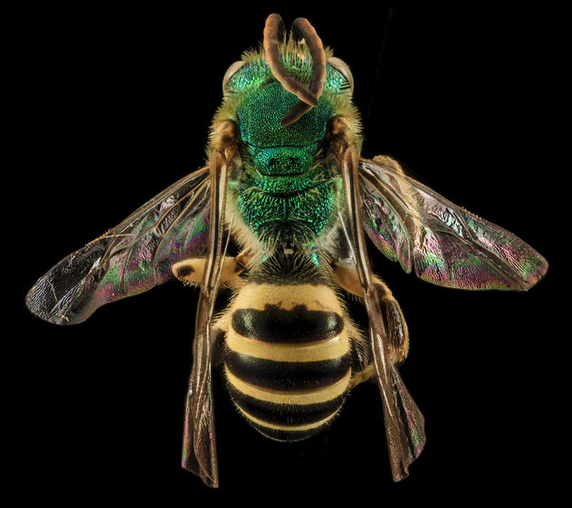 Agapostemon sericeus, M, back, Pr. Georges Co., Maryland_2014-01-20-13.16 - image gratuit #283021