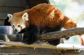 Red Panda. So cute - image #283101 gratis