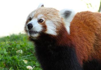 Red Panda - image gratuit #283291