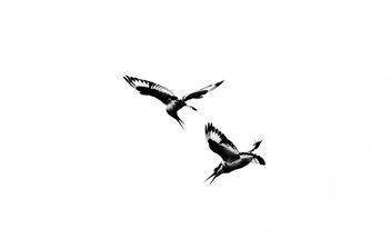 Feeding, Pied Kingfishers, Uganda - image gratuit #283311