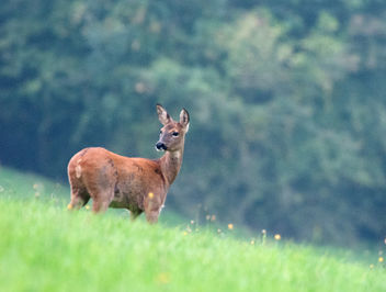 Roe Deer, Cotswolds, Gloucestershire - Free image #283401