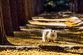 Pomeranian dog - Kostenloses image #283421