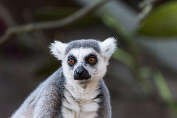 lemur at Skansen - image #283461 gratis