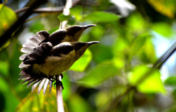 Sunbird Chicks Sunbathing - Free image #283551