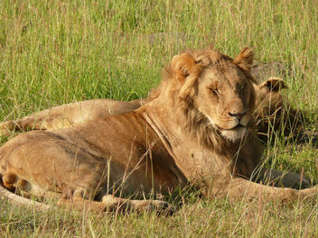 Sleepy head in the Mara ! - Free image #283681