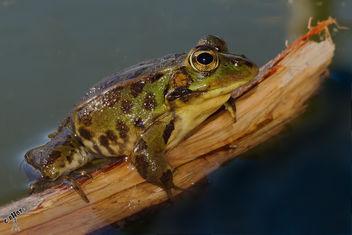 Lindas ranitas / Cute frogs - Free image #283751